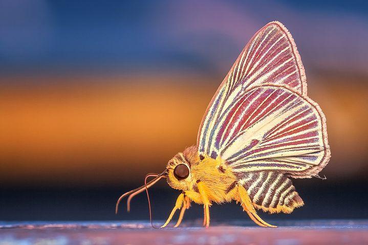 Morph, Schmetterling, Insekt, Makro