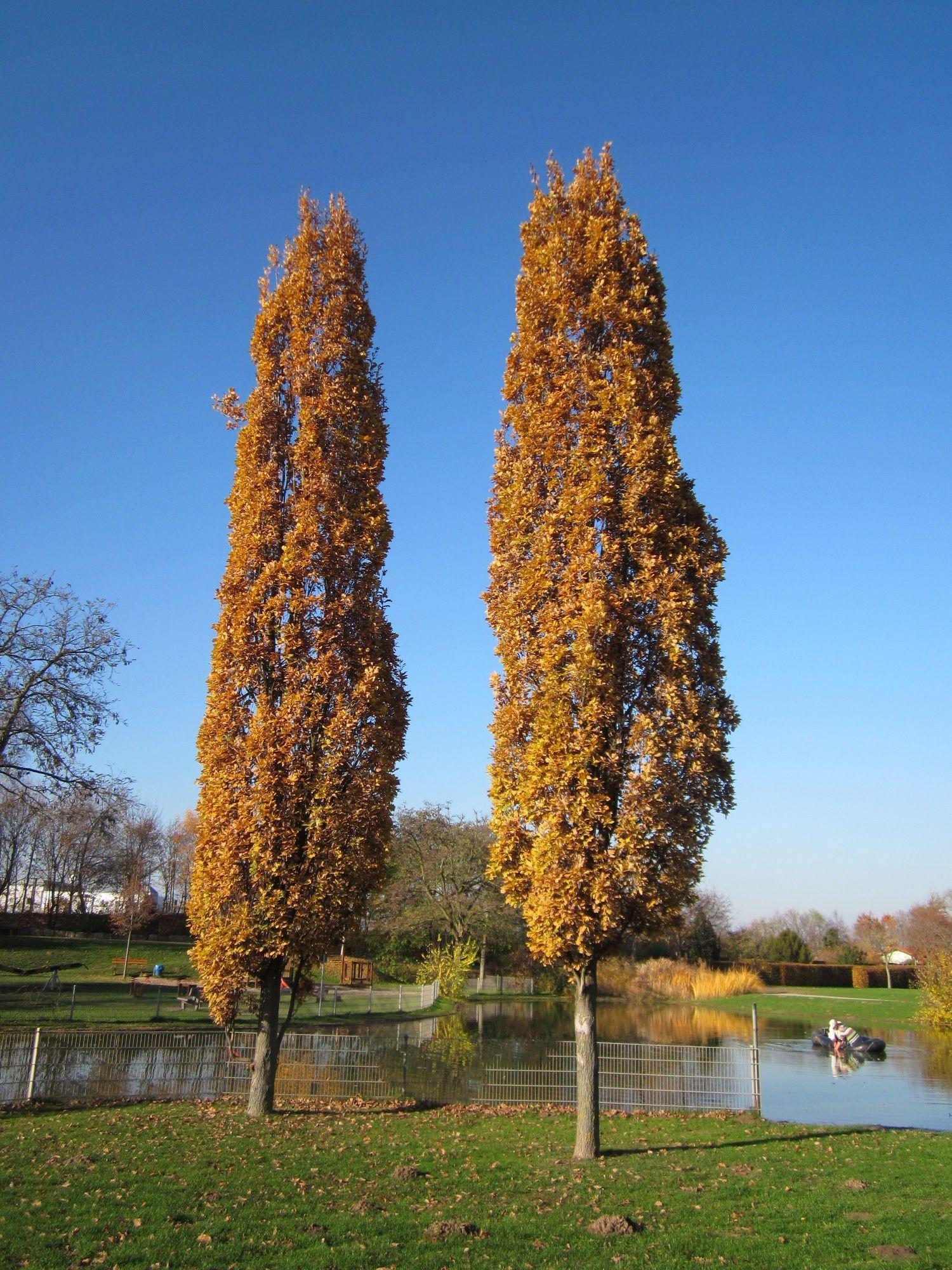 Image Result For Quercus Robur Fastigiata Trees Garden Trees