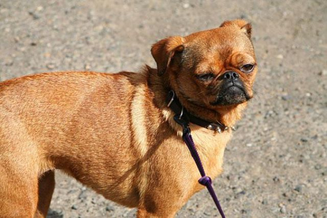 10 Unreal Pug Cross Breeds You Have To See To Believe Dog