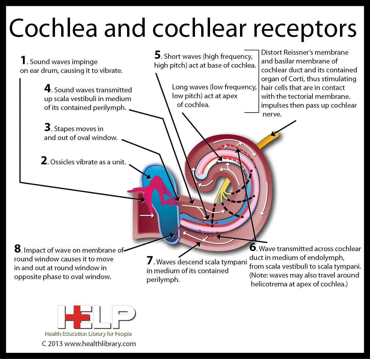 Cochlea And Cochlear Receptors Hearing Health Biology Classroom