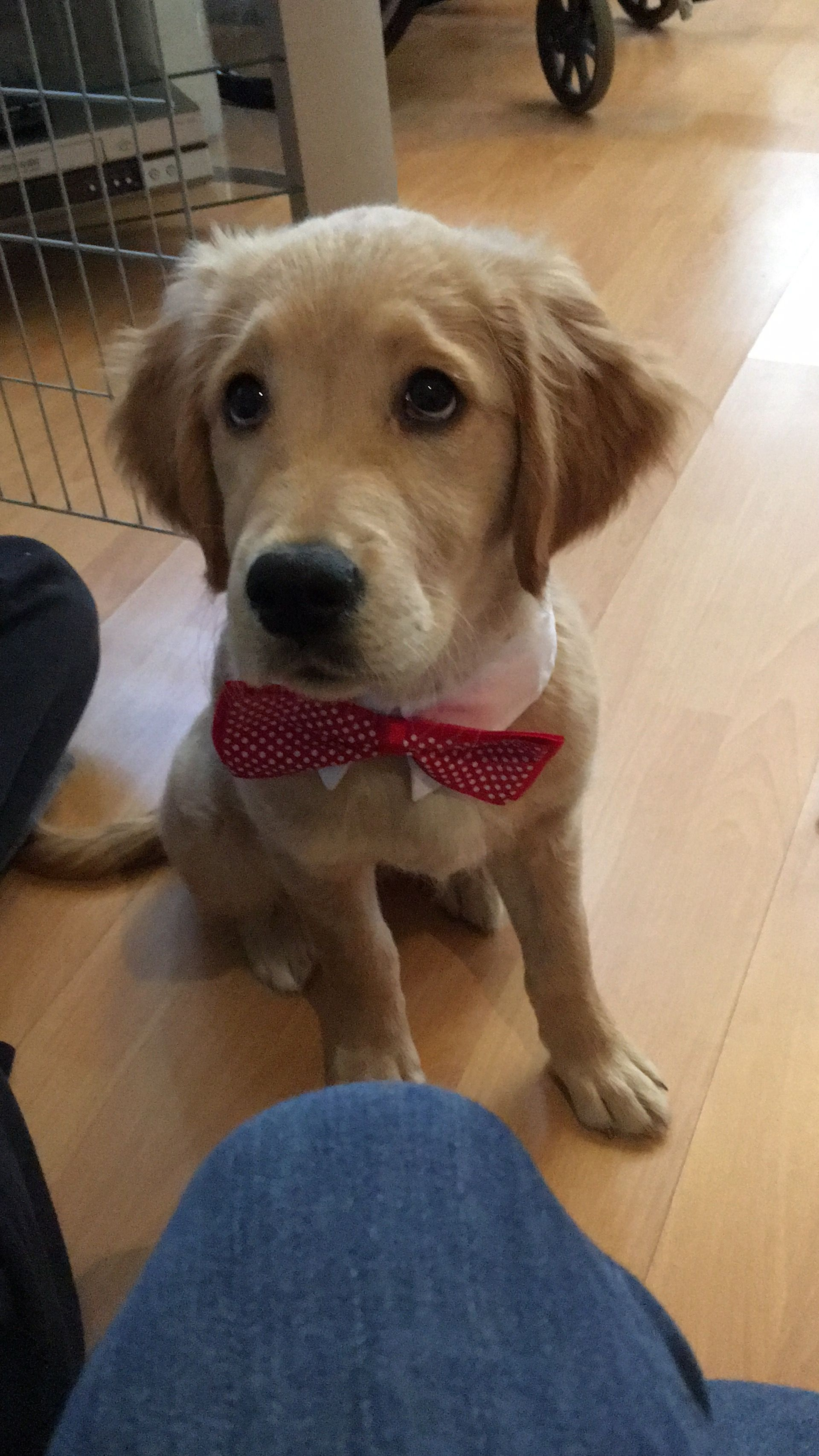 Rosie My Assistance Dog In Training As A Golden Puppy Wearing A