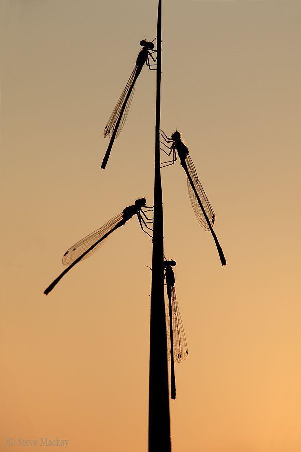 "500px / Photo ""Damselfly Sunset"" by Steve Mackay"