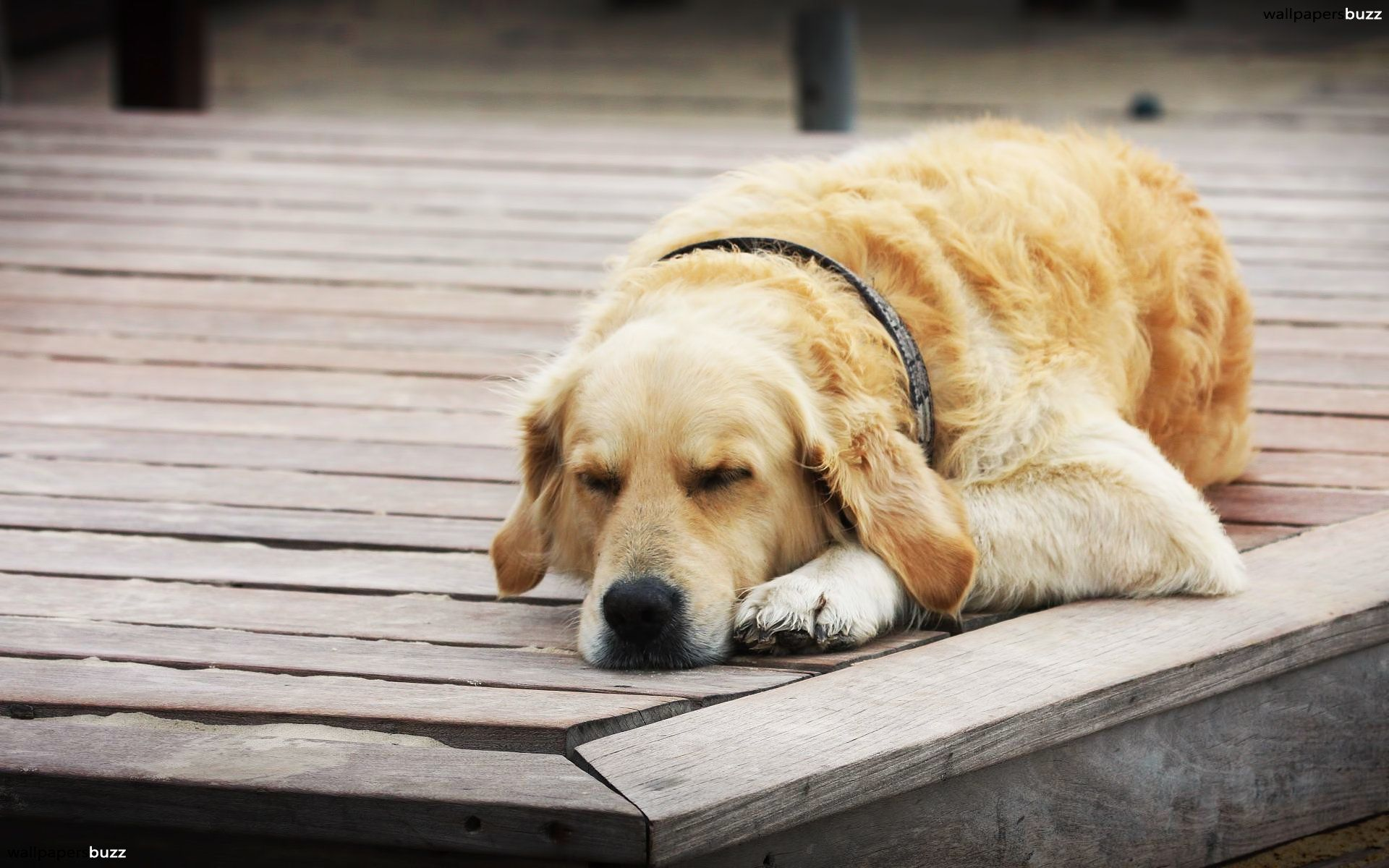 Dog Takes Nap At Neighbors House Everyday To Take A Break From