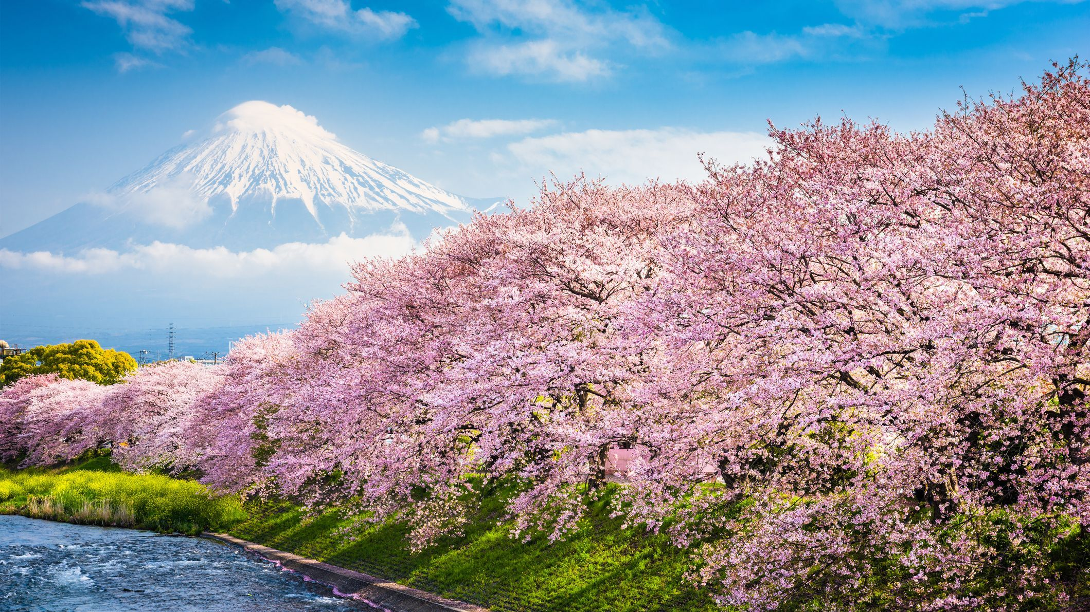 10 Amazing Facts About Cherry Blossoms Cherry Blossom Season Japan Travel Cherry Blossom Japan