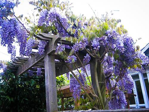 Wisteria A Highly Aromatic Blooming Plant Wisteria Plant Wisteria Tree Live Plants