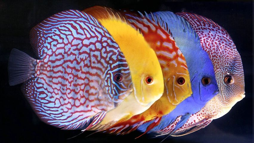 5 Color Variations Of The Discus Fish Discus Fish Discus Fish For Sale Tropical Fish