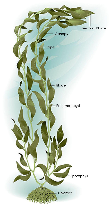 Kelp Diagram | Ocean drawing, Underwater plants