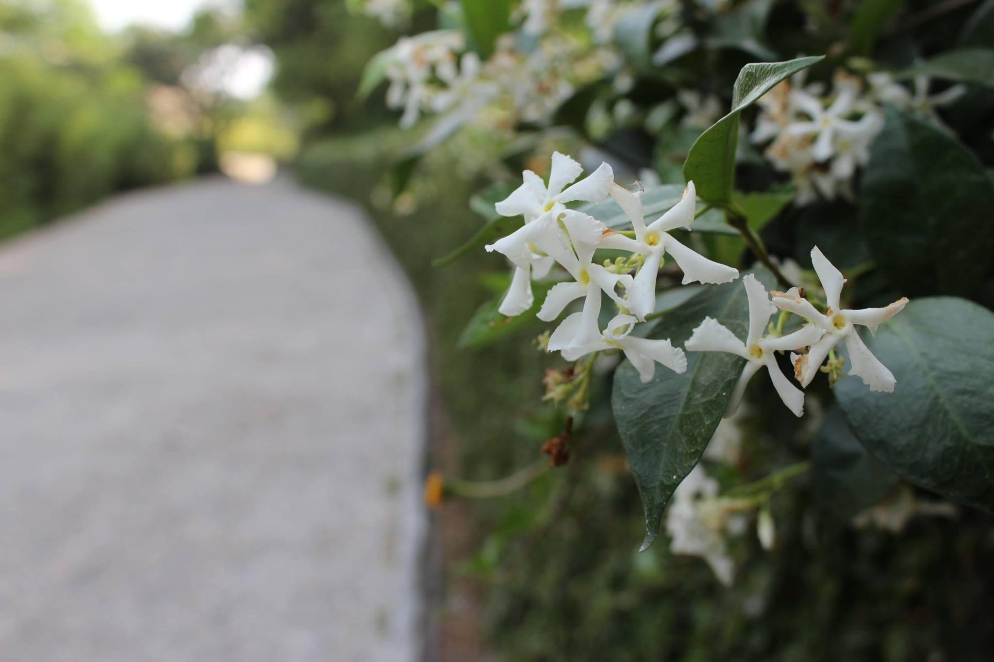 Star Jasmine At Vanamalsiestate Flowers In Bloom At Vana Malsi