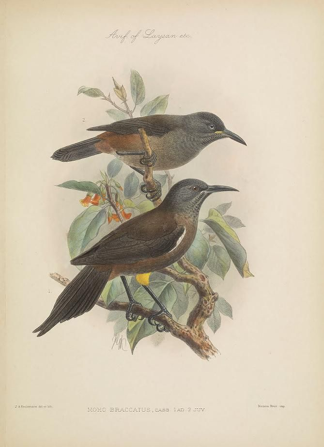 plates - The avifauna of Laysan and the neighbouring islands : - Biodiversity Heritage Library