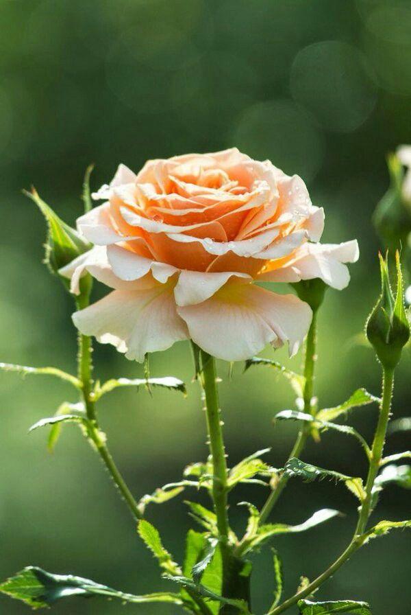 تمسك جيدا بمن يلون حياتك بالحب والعطاء والنجاح تبهت ألوان حياتنا حين يغادرها البعض Flower Photos Flowers Rose