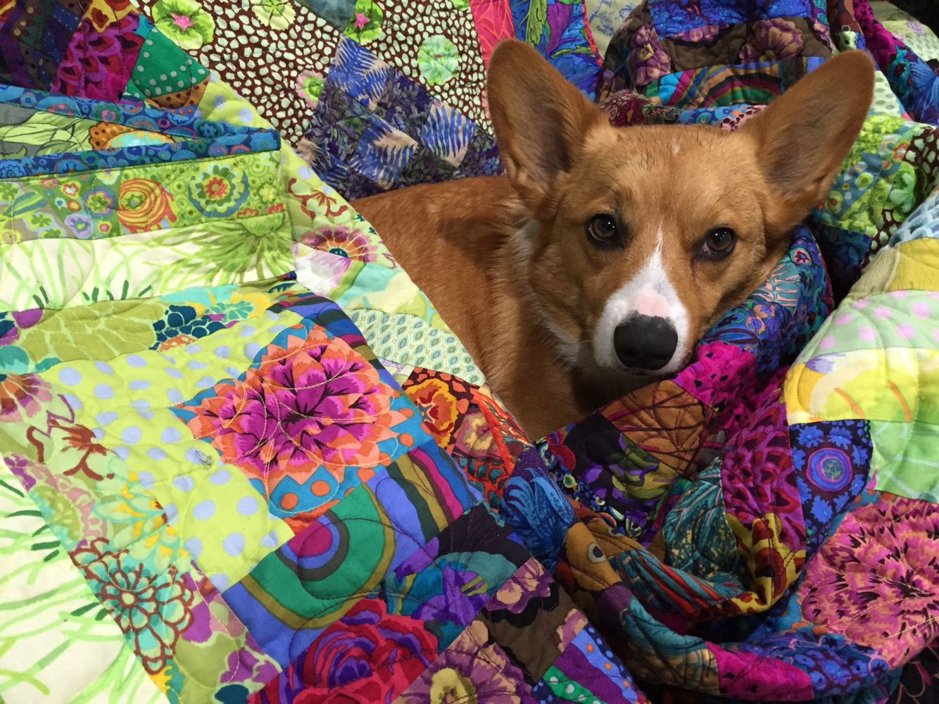 Kirby the corgi looks awesome    With Diane picketts Kaffe quilt
