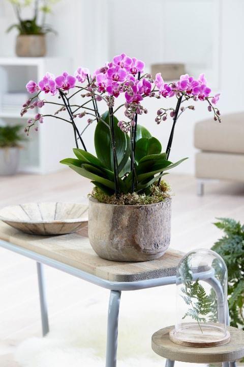 Orchidée : Phalaenopsis multiflora (Rose) | Orchidée ...