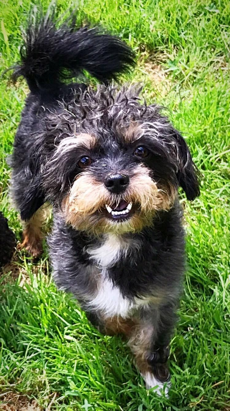 Adopt Captain Underpants On Animals Beautiful Yorkshire Terrier