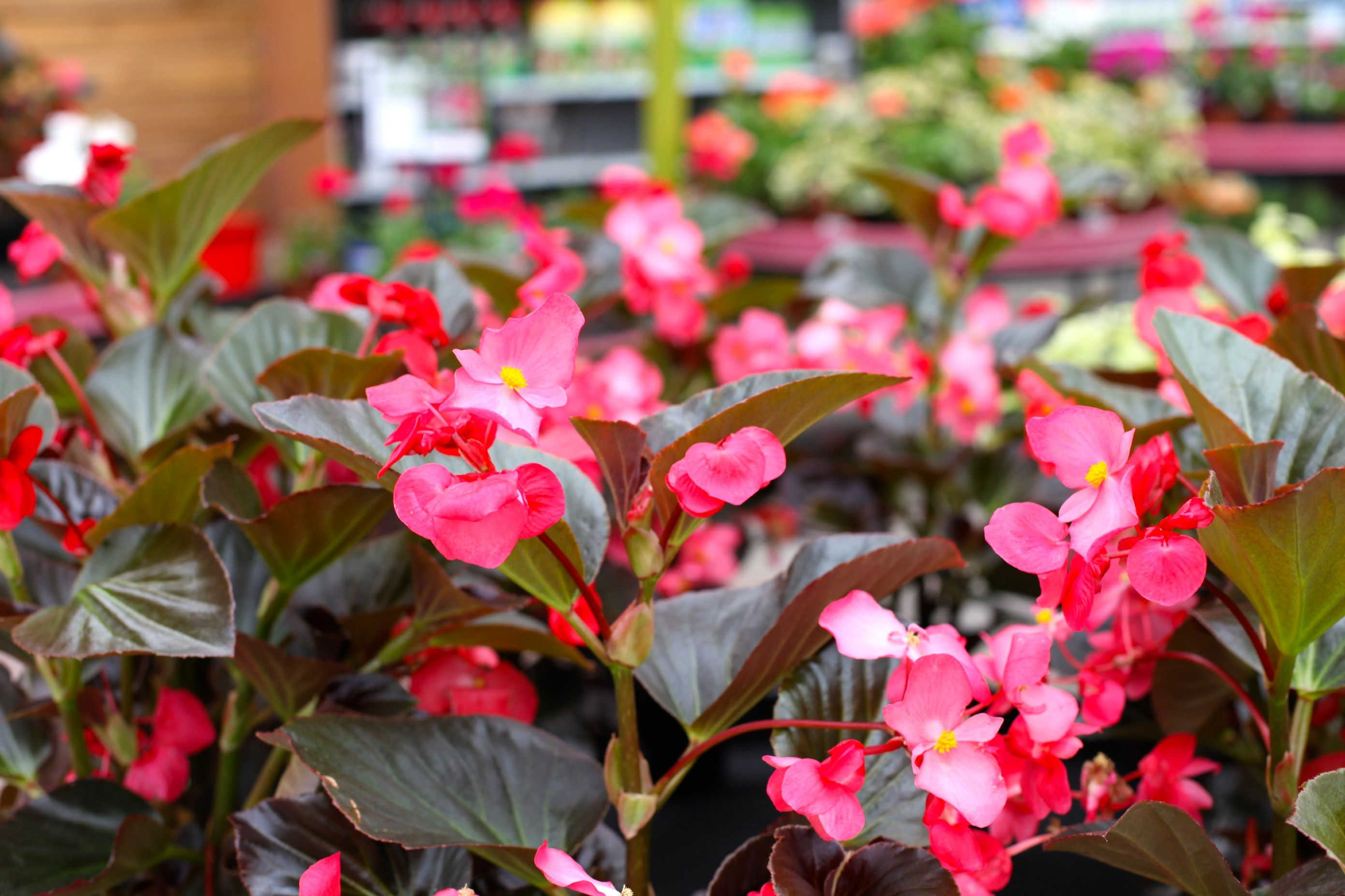 Begonia Whopper Rose Bronze Leaf Seasonal Colour Www Thepavilion Ie Colorful Garden Summer Flowers Begonia