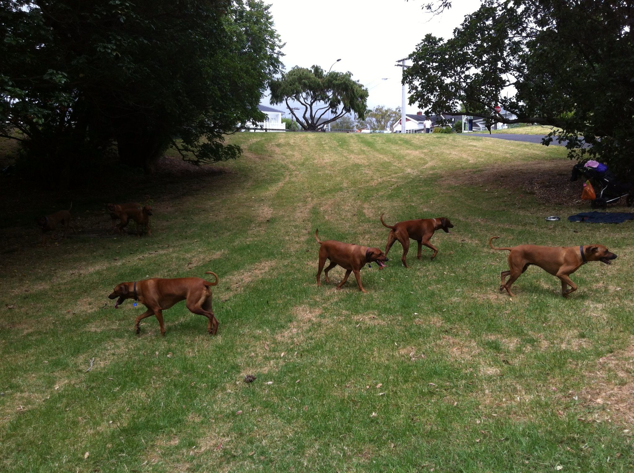 Inaugural rr nz doggie play day rhodesian ridgebacks pinterest