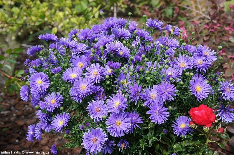 zone 5 perennials longest blooms aster magic blue gardens houseplants flowers. Black Bedroom Furniture Sets. Home Design Ideas
