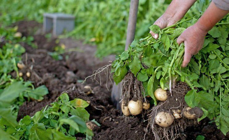 Fruhkartoffeln Die Besten Sorten Und Tipps Zum Anbau Kartoffeln Pflanzen Kartoffelpflanzen Pflanzen
