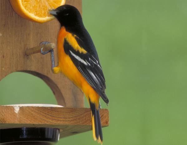 Feeding Birds With Oranges Birds And Blooms In 2020 Backyard Birds Bird Feeders How To Attract Birds