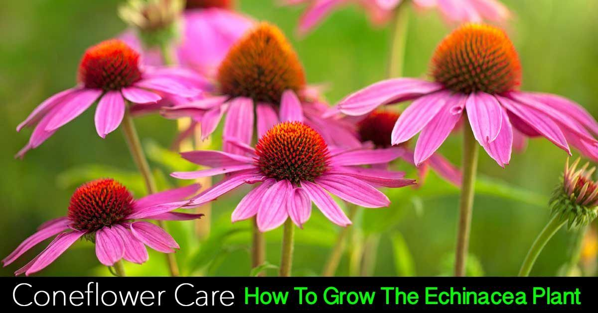 Coneflower Care Growing Echinacea As A Landscape Or Container Plant Echinacea Echinacea Purpurea Plants