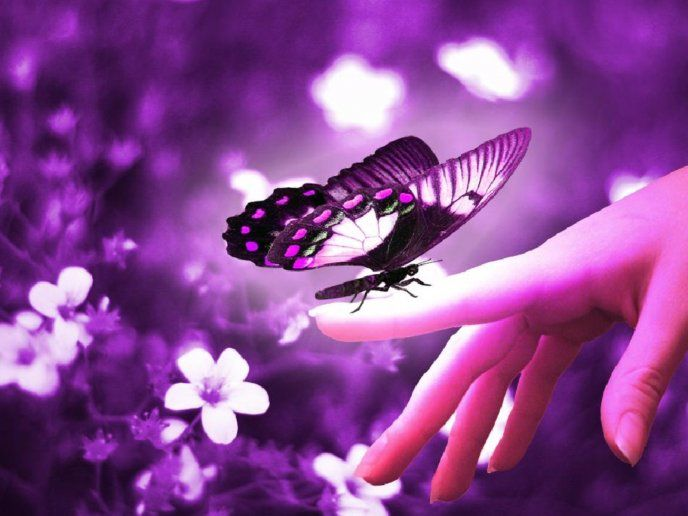 The Love Of A Butterfly Hd Purple Wallpaper Free Image