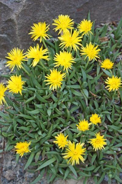 Berger's flower for sale buy Bergeranthus katbergensis 'Cathcart' Katberg Ice Plant 3''