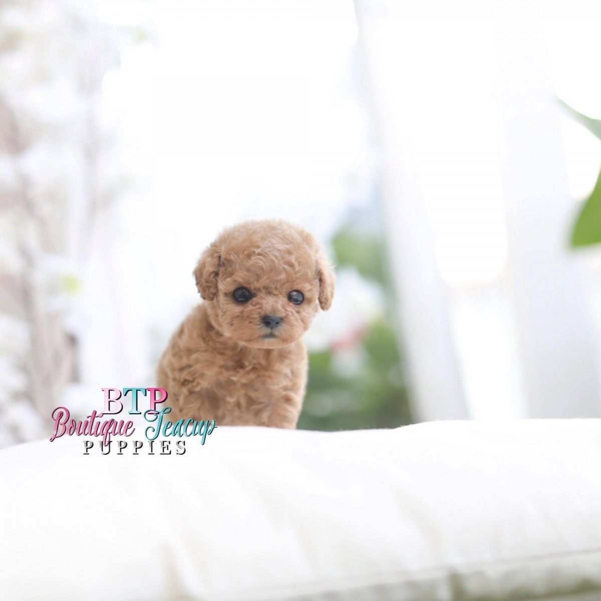Pocket Puppies & Cute Teacup Dogs For Sale Luxury Quality Puppies