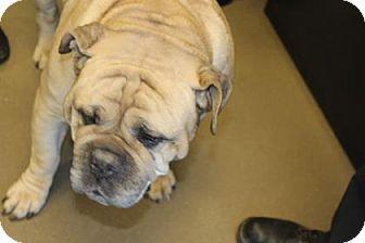 Asheville Nc English Bulldog Mastiff Mix Meet Bo Dacious A