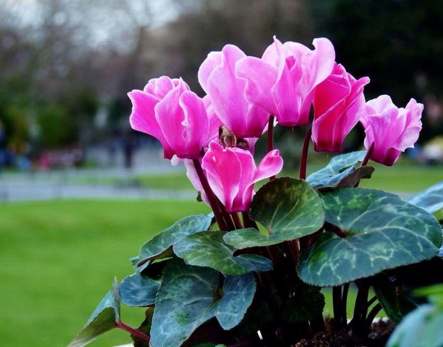 много радостных весенние комнатные цветы фото портфель весело шагай