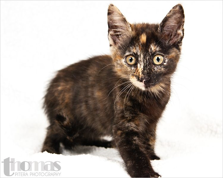 Animal Id A238168 Room No Wc87 Mariah Is A 2 Month Old Tortie Female Pawsitiveshelterphotography If You Are Looking For Me Please Tortitude Anima