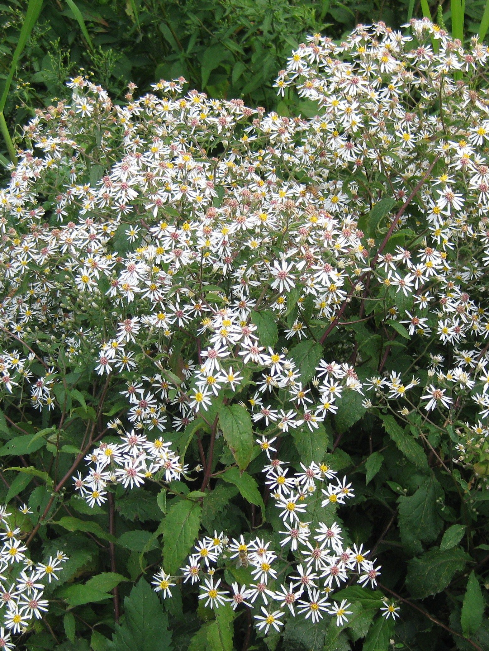 Eurybia Aster Divaricata White Wood Aster Abundant White Flowers