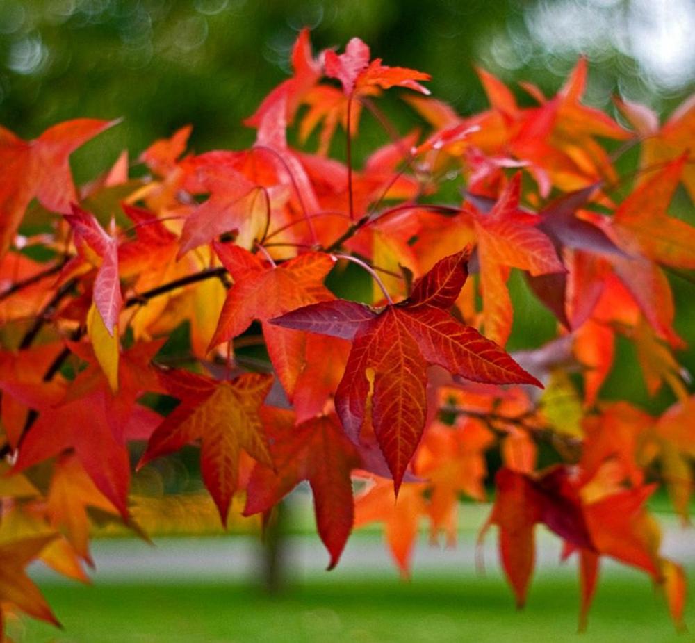 Sweetgum Tree Liquidambar Styraciflua Amber Tree Deciduous Trees Tree Identification