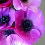 Jerusalem Hot Pink - Anemone - Flowers and Fillers - Flowers by category | Sierra Flower Finder
