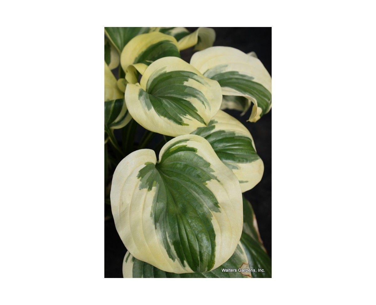 Hosta 'Fragrant Queen' Hostas Direct Hostas, Fragrant
