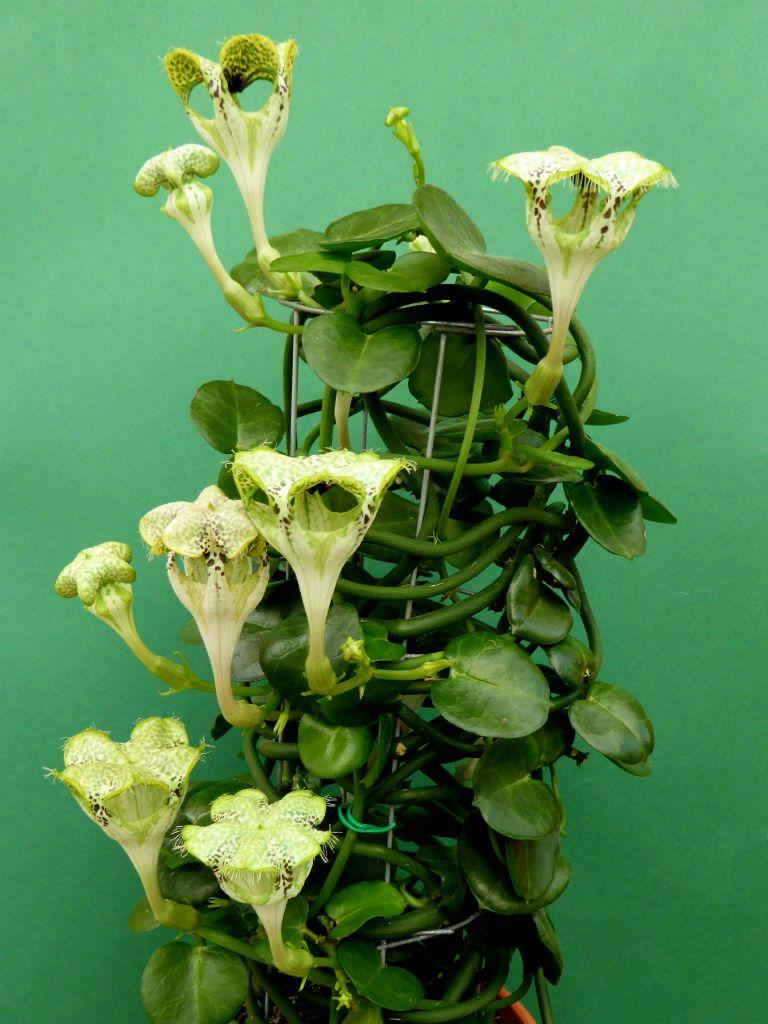 Ceropegia Sandersonii Parachute Plant Fiori Insoliti Piante