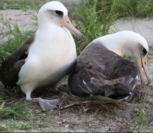 Lived 62 years, survived Japanese tsunami, and Wisdom the wild albatross is a new mom again.  (Photo Via-Pete Leary/USFWS)