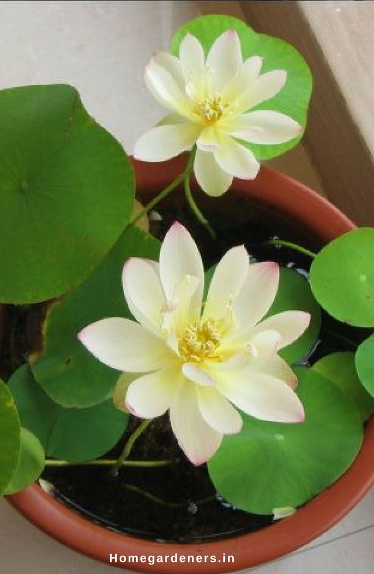Sacred lotus how to grow and care for lotus plants herbal oil lotus dry seed heads are commercially sold throughout the world for its use in herbal oils izmirmasajfo Images