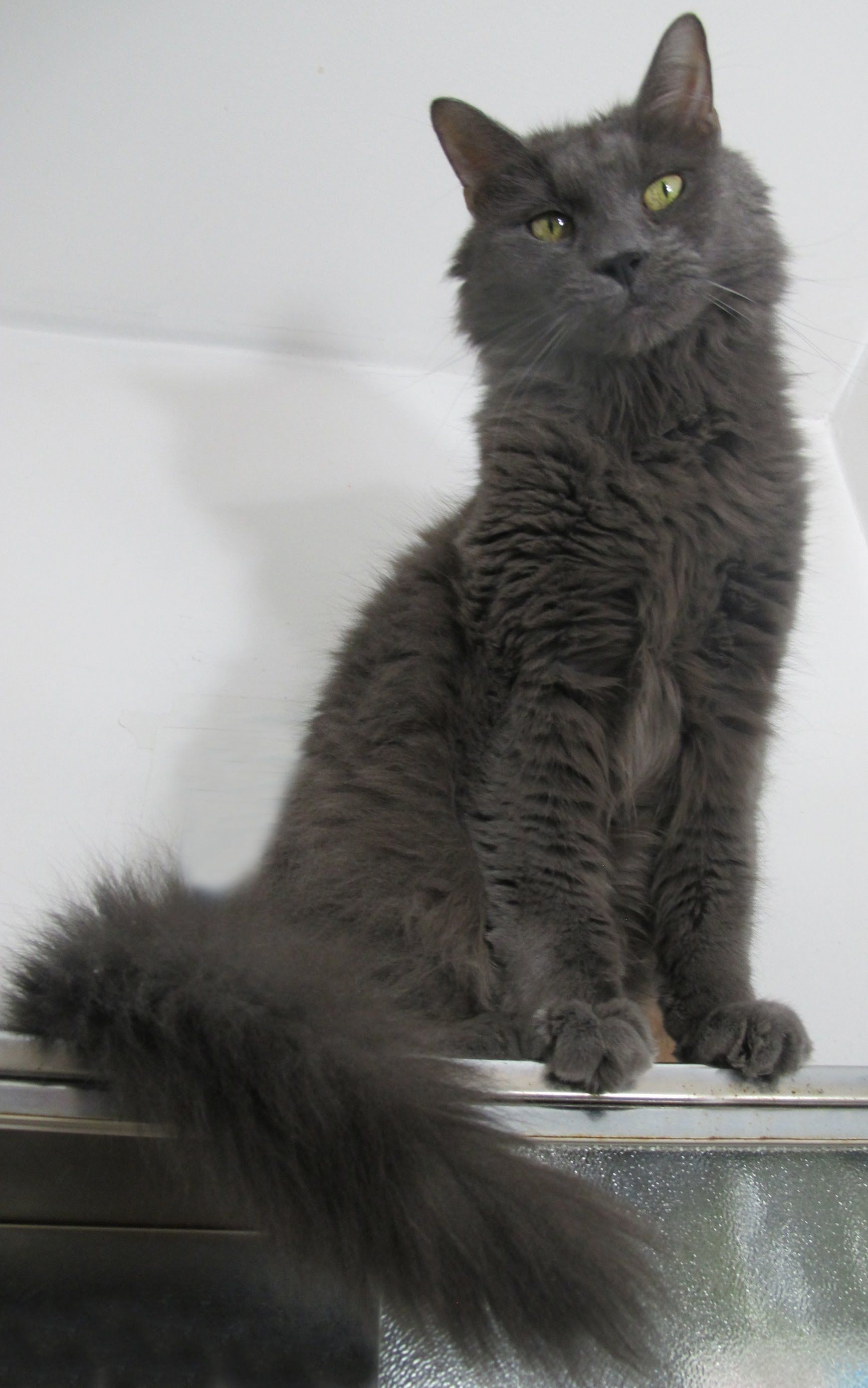 Maine Coon Russian Blue Mix Cat Russian Blue Cat