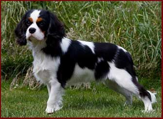 Pin By Sarah Gunnells On Sophie In 2020 King Charles Dog Cavalier King Charles Dog Cavalier King Charles Spaniel Tricolor