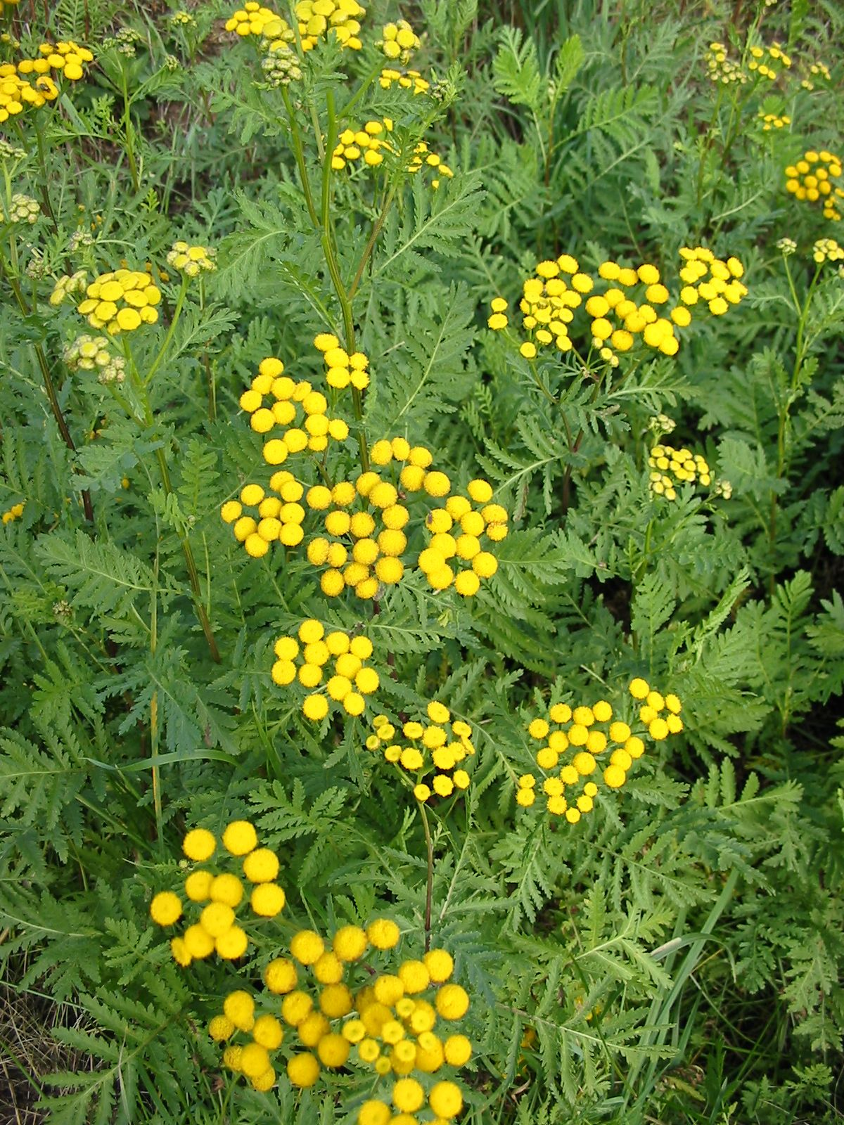 Tall yellow perennial flowers plants want to be able to indentify tall yellow perennial flowers plants want to be able to indentify plants with your mobile phone check out gardenanswers mightylinksfo