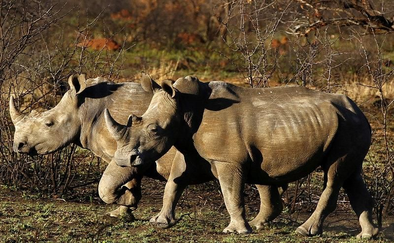 South Africa to restock Chad with black rhinos Africa