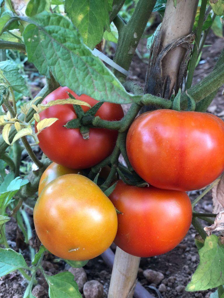 Sembrar100 Huerto Agricultura Plantas Y Flores Sembrar Tomates Tomates En Maceta Plantas De Tomate