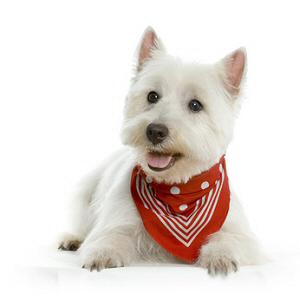 Elevages de West highland white terrier ( Westie ) . Trouvez et ...