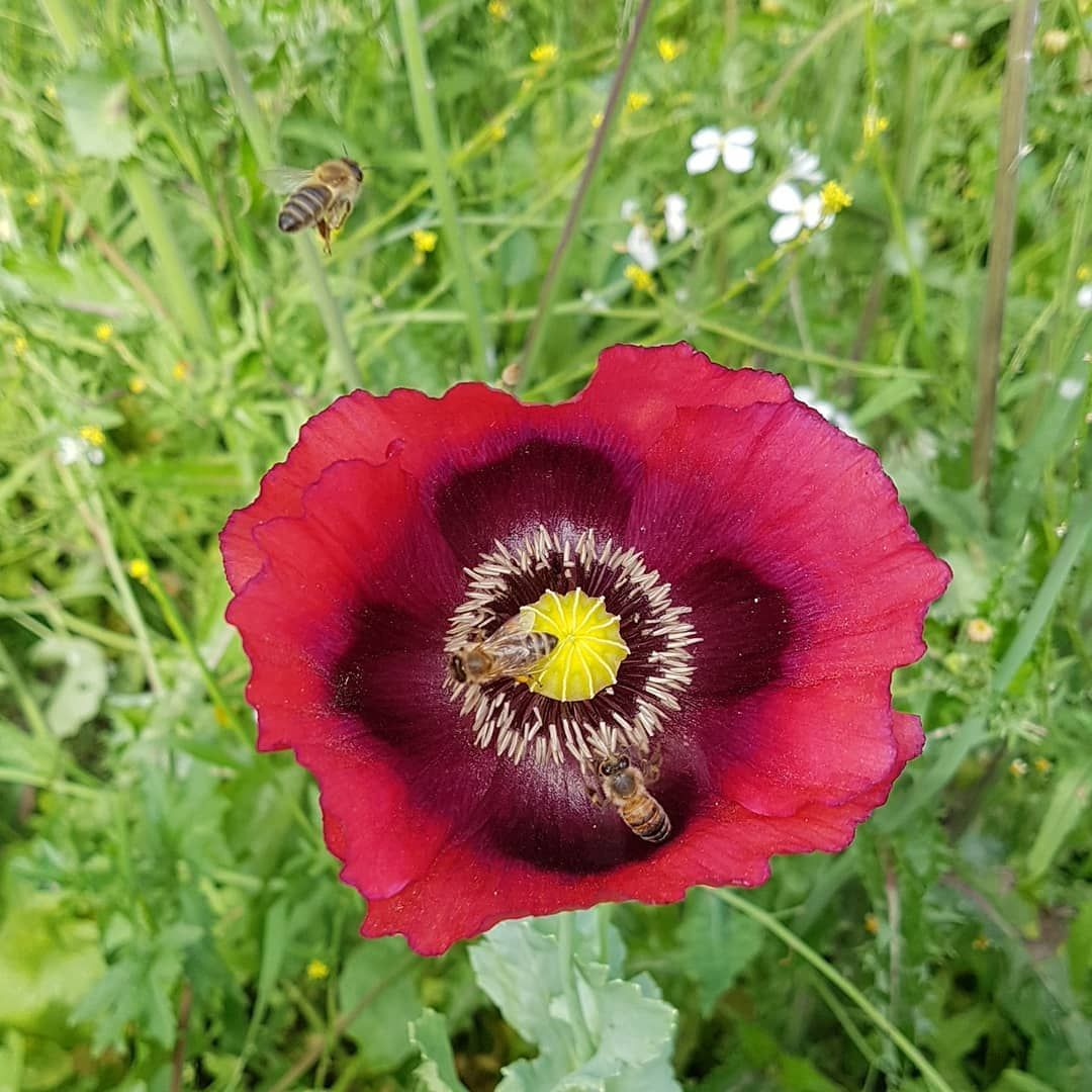 And The Day Came When The Risk Of Remaining In The Bud Became More Painful Than The Risk Of Blooming Mohnblume In 2020 Garden Inspiration Poppies Bloom