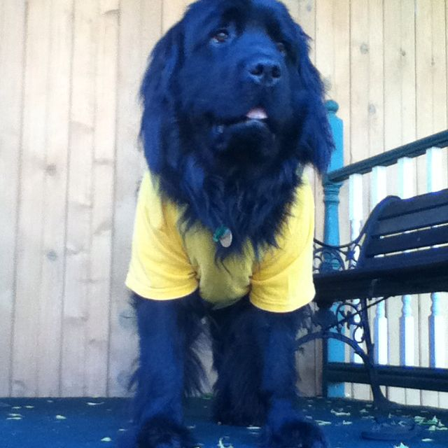 Silly Butch! Nothing better then a Newf in a shirt:)