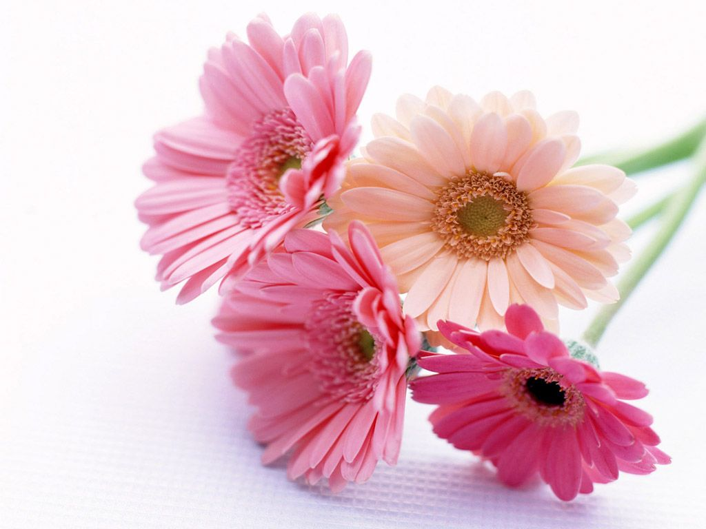gerbera flower wallpaper - floral delivery | all wallpapers