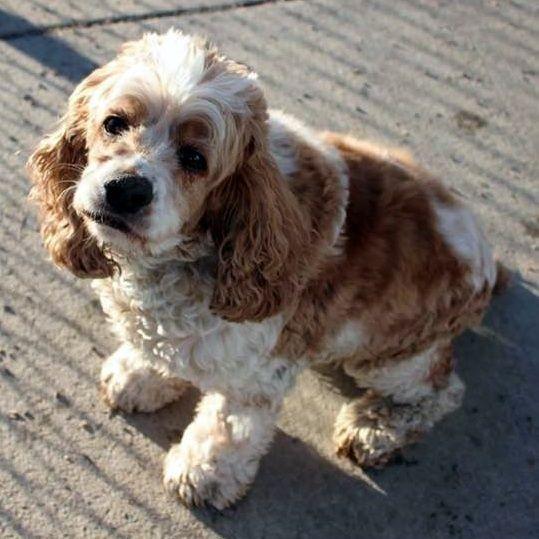 Cocker Spaniel Dog For Adoption In Parker Co Adn 446254 On Puppyfinder Com Gender Male Age Adult