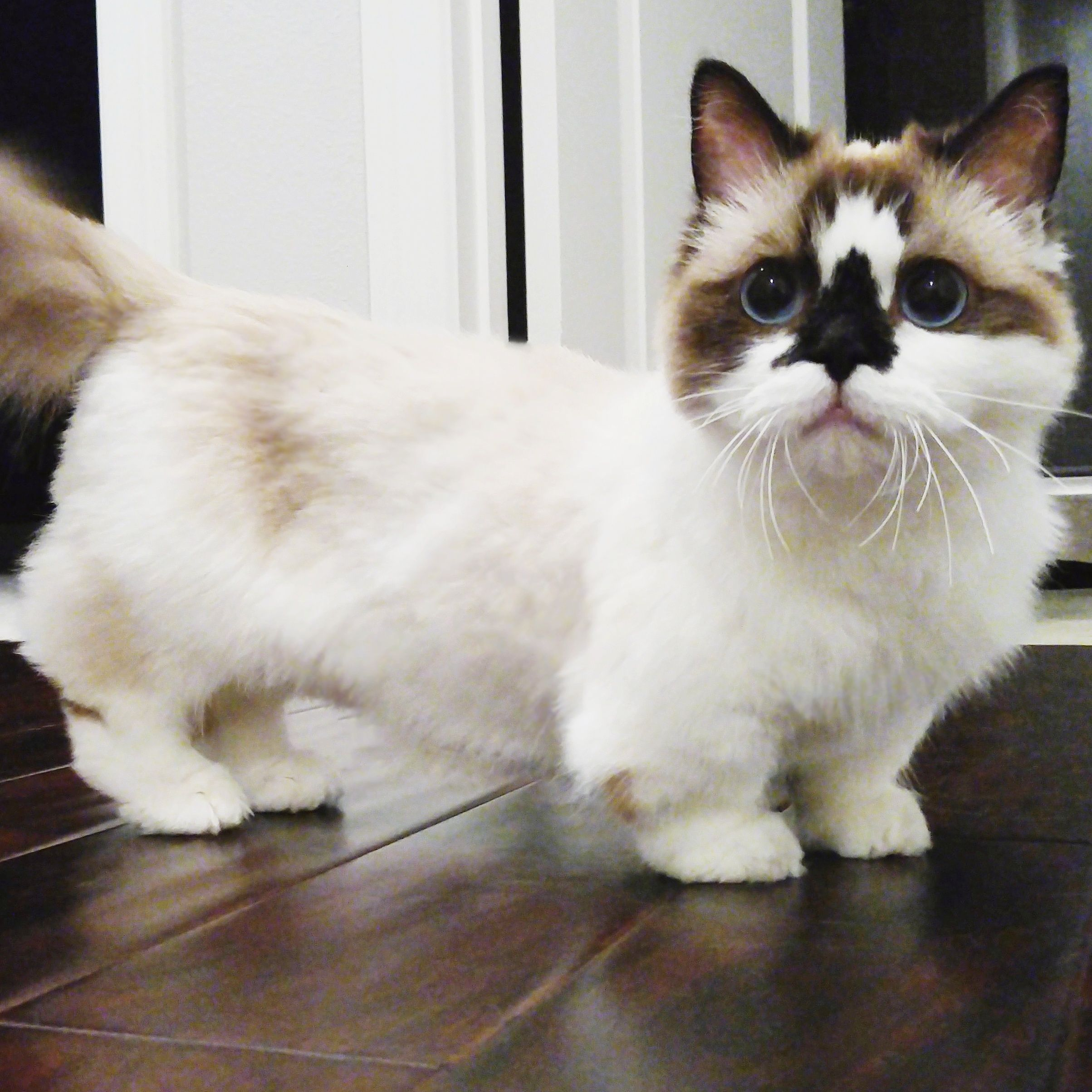Pin By Joan Guilbeau On Animals Munchkin Cat Cat Breeds