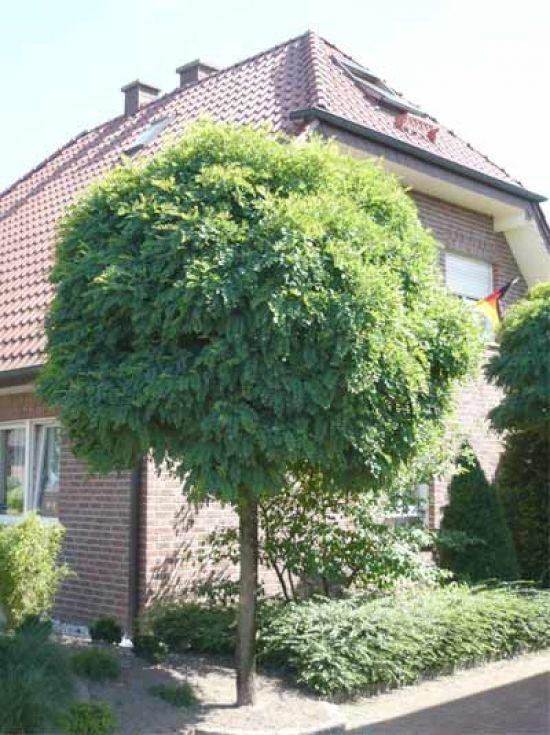 robinia pseudoacacia 39 umbraculifera 39 kugel robinie garden pinterest baum g rten und. Black Bedroom Furniture Sets. Home Design Ideas