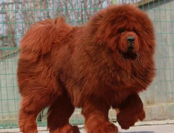 Mastín Tibetano Perro Más Caro Del Mundo Razas De Perros Perro Mastín Tibetano