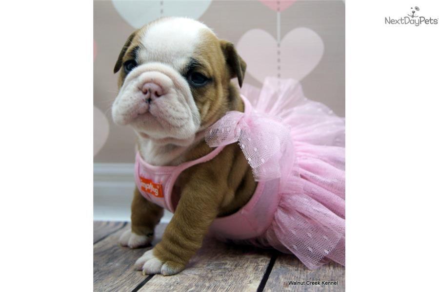 Adorable Akc Champion Pedigree Female English Bulldog Puppy For